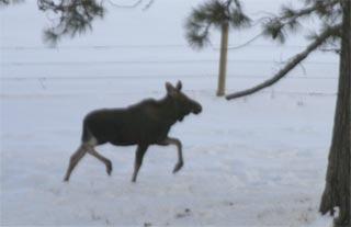 Moose off I-95 12-7-06