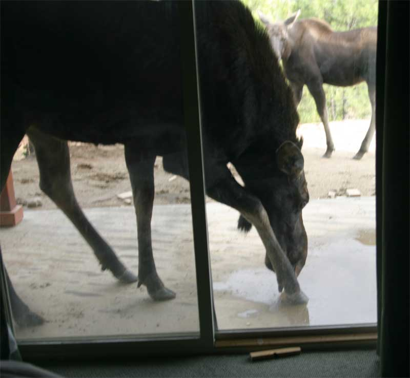 momma and baby moose at door