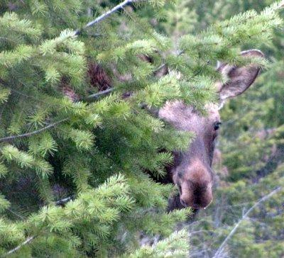 peek-a-moose-02.jpg