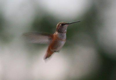 hummingbird-01.jpg