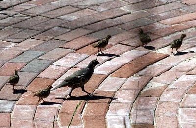 quails-00.jpg